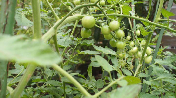 トマトの節約レシピと自家栽培のススメ